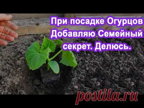 В лунку при Посадке Огурцов добавьте Этот раствор. Огурцы завалят урожаем, а также будут хрустящими.