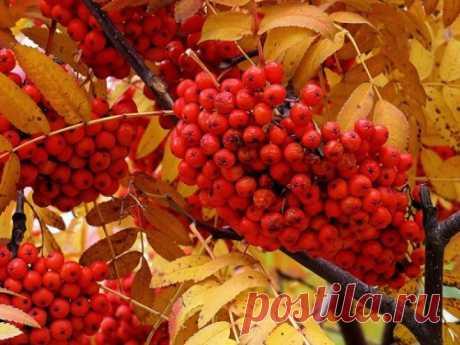 РЯБИНА В МАГИИ.   Рябина обладает уникальными способностями: это дерево обостряет интуицию, защищает от сглаза, порчи, всего злого.  До сих пор во многих деревнях маленькие девочки по осени нанизывают на нитку ягоды …