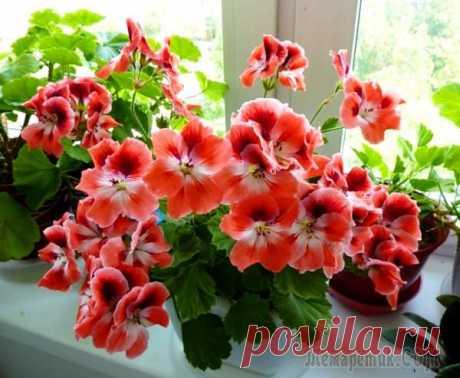 Los secretos de los abonos para el florecimiento lujoso de los geranios en las condiciones de casa