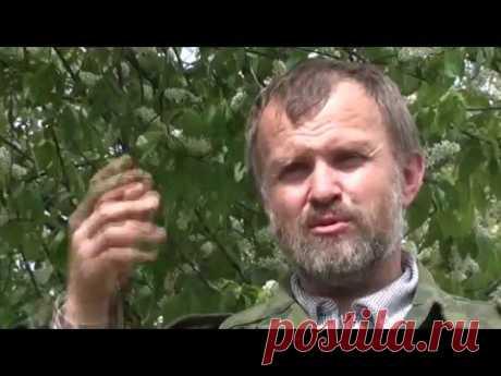 Травовед. Черемуха. Рассказывает Моряков Сергей Викторович - YouTube