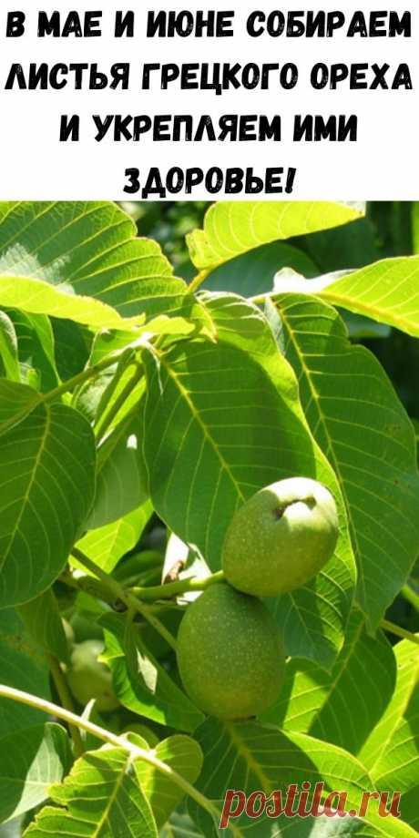 В мае и июне собираем листья грецкого ореха и укрепляем ими здоровье! - Советы для женщин