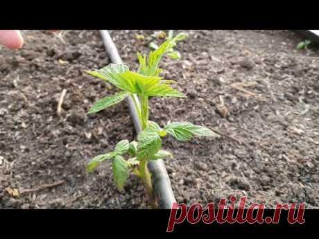 Как посадить малину и что потом с ней делать... Уход и когда нужна обрезка!
