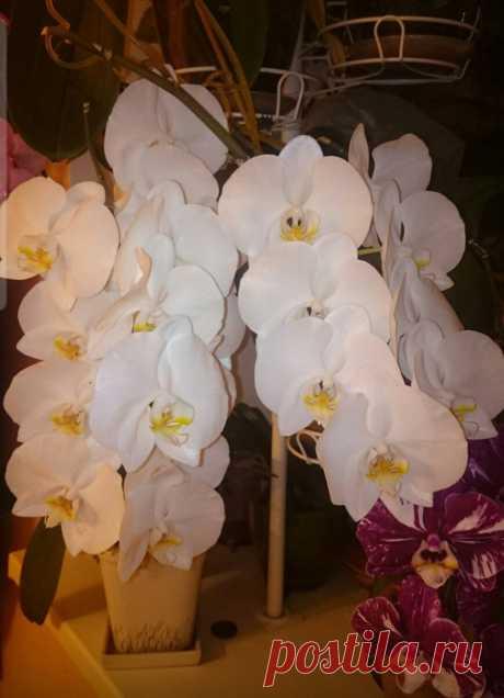 Мелкие цветы у вашей орхидеи?Как добиться крупных цветков. | Все о цветах | Яндекс Дзен