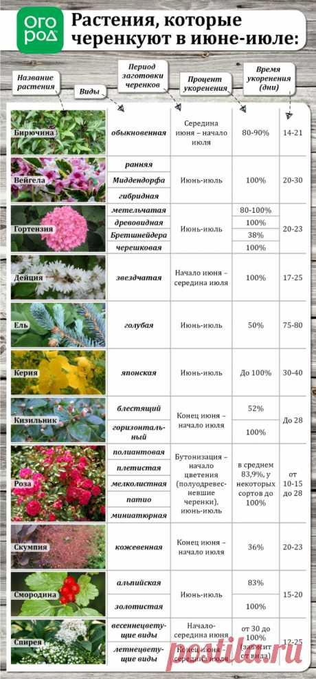 Летнее размножение декоративных растений зелеными черенками | В цветнике (Огород.ru)