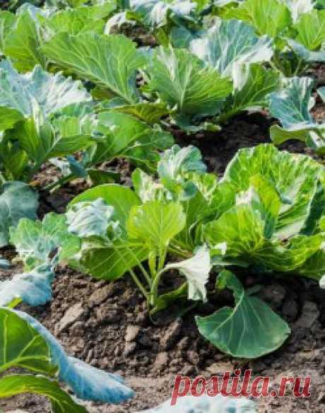 Календарь посевов: белокочанная капуста, цветная капуста, кольраби, брокколи