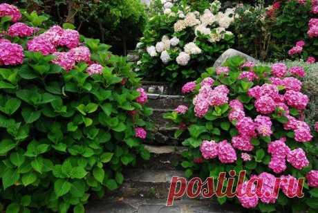 Как правильно посадить и вырастить гортензию в саду или на даче.