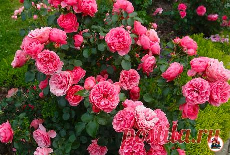 Соседка подсказала удобрение для роз всего за 10 рублей, благодаря которому мой розарий выглядит шикарно. Делюсь рецептом | Цветущий сад | Яндекс Дзен
