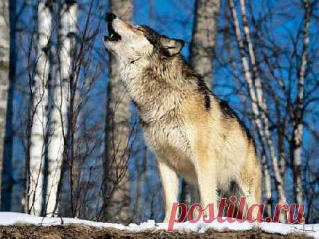 Предлагаем вашему вниманию подборку интересных фактов о волках.