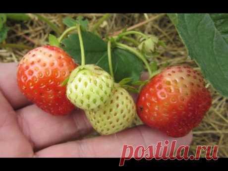 Как размножить клубнику на своем дачном участке - YouTube