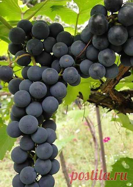Как защитить виноград от болезней и вредителей