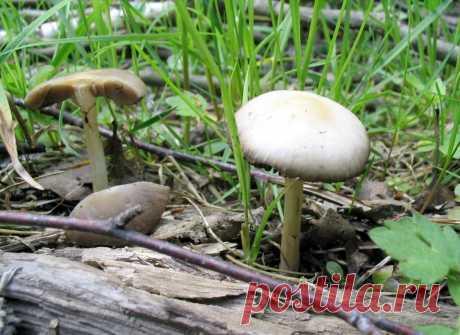 Гриб, посрамивший гурмана | Это грибы! | Яндекс Дзен