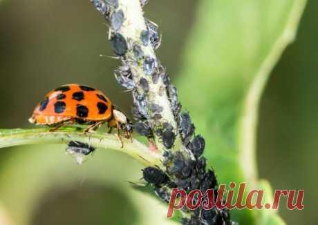 Полезные жуки, которых не стоит истреблять в саду, огороде и на цветах На грядах, в саду и в цветнике всегда кипит незаметная, но бурная жизнь. Насекомые всех видов, размеров и оттенков контактируют с растениями и друг с другом, причем некоторые из них, сами того не созн...