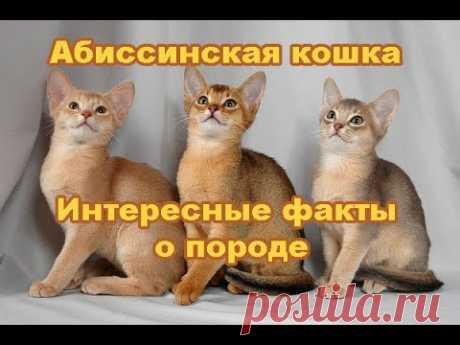 Абиссинская порода кошек - YouTube