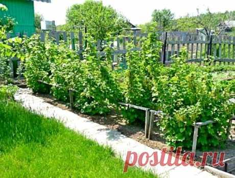 La fertilización de las plantaciones de la grosella para la recepción de la cosecha buena