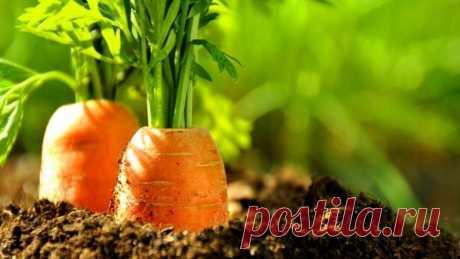 Эффективный способ посадки моркови Прореживать морковь не нужно!