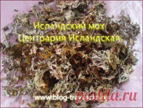 Исландский мох: лечебные свойства рецепты отзывы