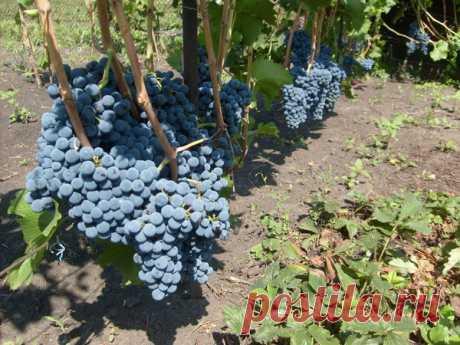 Как выращивать виноград? Советы и рекомендации для новичков   Любимая Дача   Яндекс Дзен