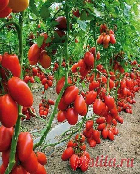Листва у томатов - удалять или нет? Все о пасынковании овощей