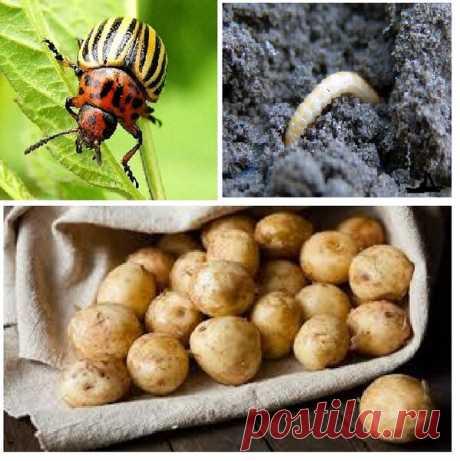 Как избавиться от колорадского жука за 7 дней? | Строили-построили | Яндекс Дзен