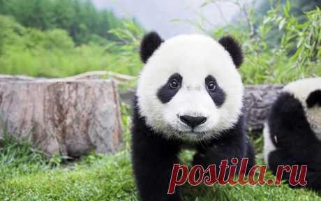 «Панда - 94 фото неверотяно милого китайского бамбукового мед» — карточка пользователя Анна Чичерова в Яндекс.Коллекциях