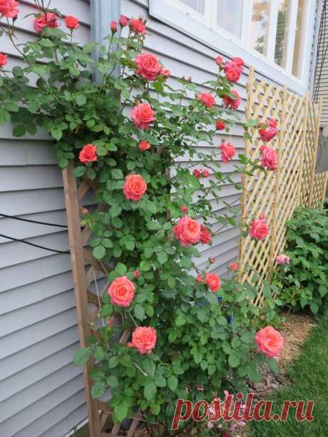 Плетистая роза - шикарный цветок для любого ландшафта
