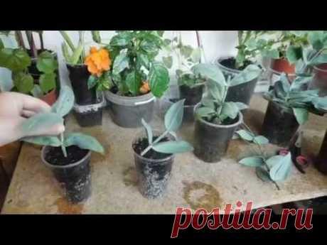Эустома Эхо Блю Пикоти. Выращивание и размножение.