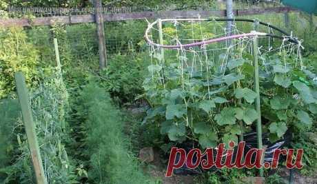 Выращивание огурцов в полиэтиленовом пакете