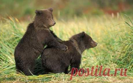Медвежата...