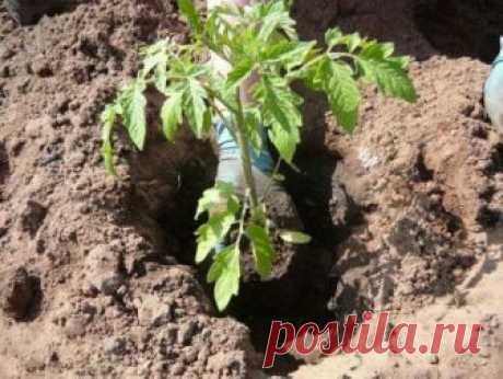 Что необходимо класть в лунку при посадке помидоров (видео)