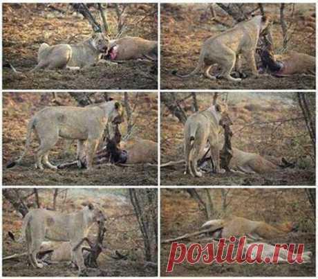 Голодная львица задрала беременную антилопу. Дальнейшее поразило Всех. - МирТесен