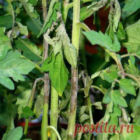 11 эффективных рецептов для борьбы с фитофторой томатов - Огород без забот