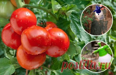 Как избавиться от фитофторы на томатах за 1 день? Рецепты эффективных растворов | Твоя Дача | Яндекс Дзен