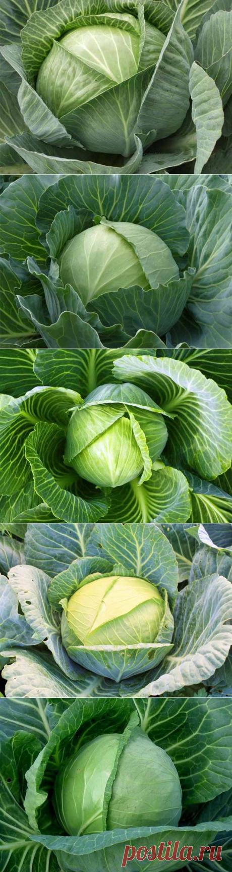 Самые популярные сорта капусты: достоинства и недостатки, фото