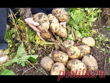 Картофель в соломе, в сфагнуме (мох) и в коробе | 6 соток