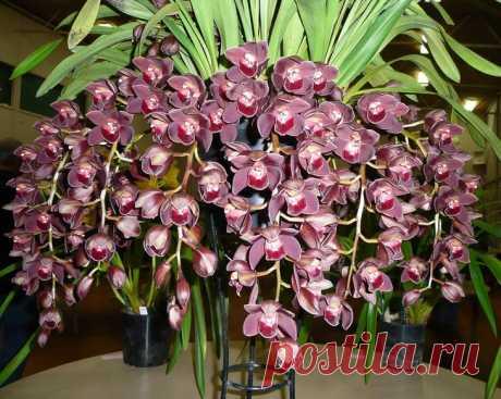 Орхидея «Цимбидиум»: уход в домашних условиях, пересадка, выбор грунта Общее описание растения Вряд ли кто-то удивится, если узнает, что цибидиум многие признают самым прекрасным представителем орхидей. Цветки могут иметь самые разные оттенки: зелёный, коричневый, розовы...