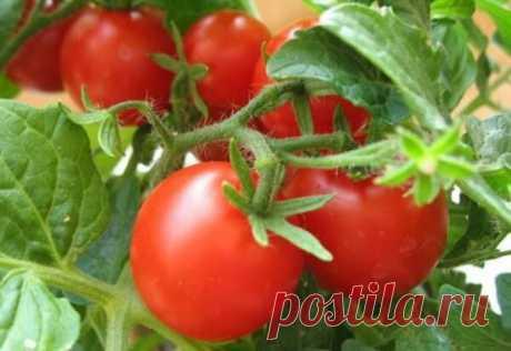 Уход за помидорами в августе: важные моменты Представить дачные грядки без помидор практически невозможно. Любят наши люди полакомиться и свежими помидорчиками, и консервированными, да и томатный сок идет на ура. Август — самая горячая пора для томатов.