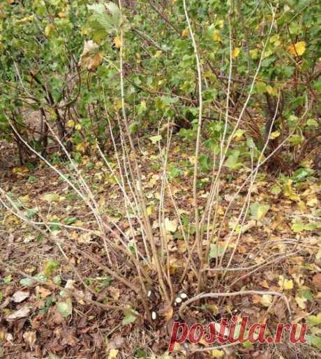 Обрезка смородины осенью – как обрезать черную и красную правильно