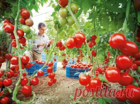 ВЫРАЩИВАНИЕ ПОМИДОР ПО МАСЛОВУ УВЕЛИЧЕНИЕ УРОЖАЯ В 8 РАЗ! Наблюдая в течение многих лет за развитием томатных растений, я пришел к выводу, что для того, чтобы обеспечить налив большого количества плодов, нужна мощная корневая система. Увеличить ее я пробовал двумя способами. Первый — посадка рассады не вертикально, как это обычно принято, а лежа. В заранее подготовленную борозду укладываю не только корень, но 2/3 стебля, предварительно удалив с этой части листья. Засыпаю слоем почвы в 10-12 см