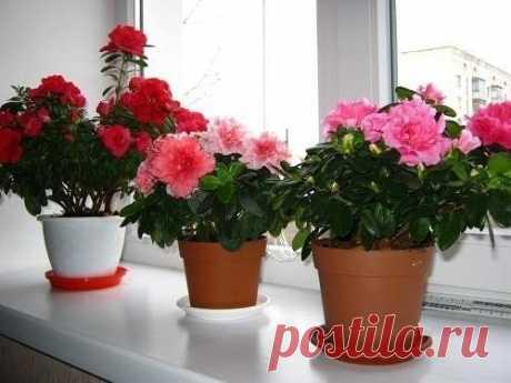 Секрет роскошного комнатного цветника | Моя любимая флора
