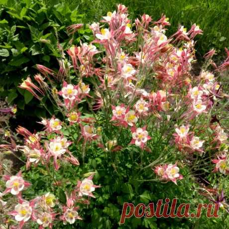 Аквилегия - цветок эльфов в саду. | Klumba-plus.ru | Яндекс Дзен