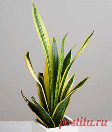 чтобы очистить дом от негативной энергии заведите в доме сенсевиерию! красивый и непревеледливый цветок который приносит пользу