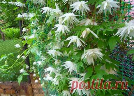 Как выбрать растения для беседки? Список зимостойких растений, не требующих укрытия на зиму. | Растения от Катерины | Яндекс Дзен