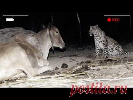 Фермер установил камеру чтобы понять, зачем леопард ночью посещает его корову, причина удивила всех!