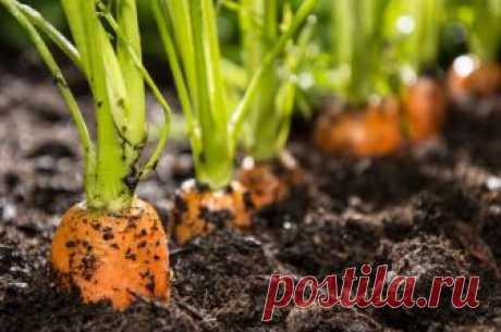 Что сажать после моркови на следующий год, а что не стоит Какие растения можно и нужно сажать на месте моркови, а какие не рекомендуется.