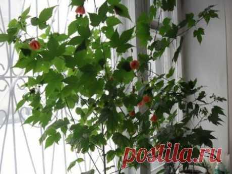 Домашнее растение -абутилон (комнатный клен)