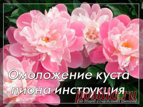 """Когда лучше приступать к омоложению пиона Оксана Тимошенко, Пермь: """"У меня на даче растет роскошный куст пионов. Ему уже 8 лет, давно пора делить, но все никак не решусь, боюсь, что потом он цвести не будет. Подскажите, как провести эту операцию, чтобы куст омолодился и радовал своими цветами по-прежнему"""".  Если пиону 8 лет, то его давно уже пора омолаживать. Мы рекомендуют делить куст каждые 4-5 лет. Связано это с корнями.  У старых кустов, растущих много лет без деления,..."""