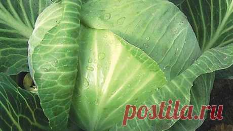 Как защитить капусту от слизней и гусениц без химии  https://youtu.be/z1YXMa736no