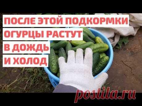 Чем подкормить огурцы для роста и урожая в дождь и холод. Собрали ведро огурцов после этой подкормки