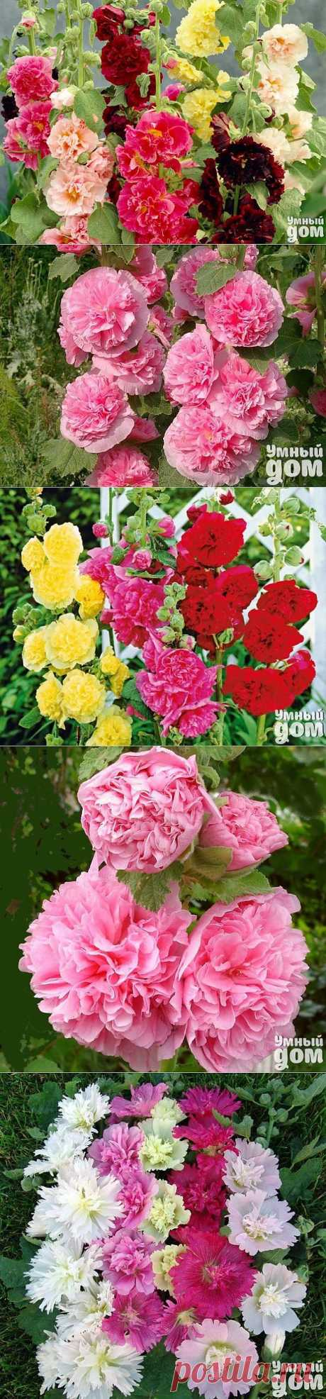 Шток роза, она же мальва, выращивание и уход