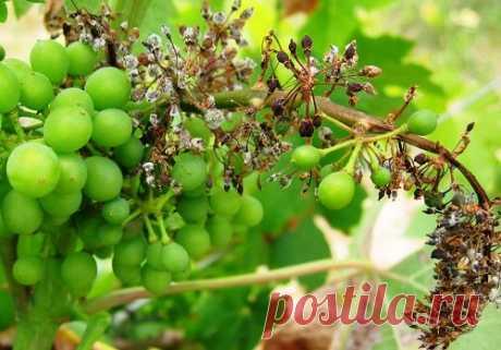 Сохнут кисти винограда - причины явления и меры борьбы с ними, видео Сохнут кисти винограда в случае, когда куст поражен грибковыми заболеваниями (милдью, антрактозом, вертицеллезом). Также усыхание может быть в результате недостатка влаги...